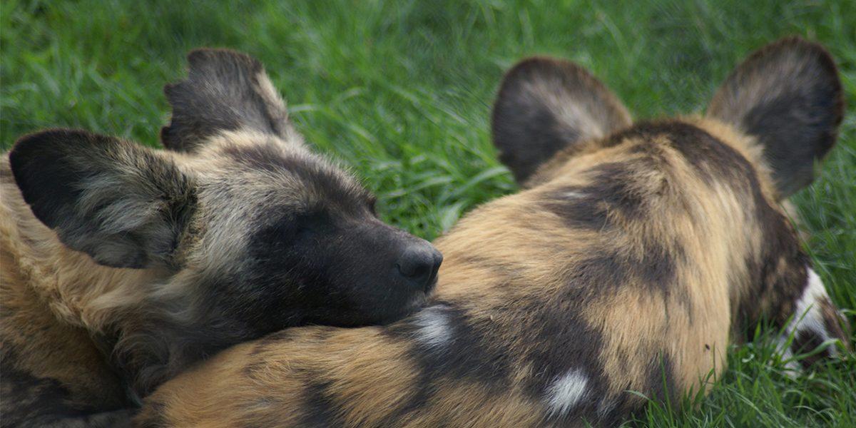 African Wild Dog Breeding Programs