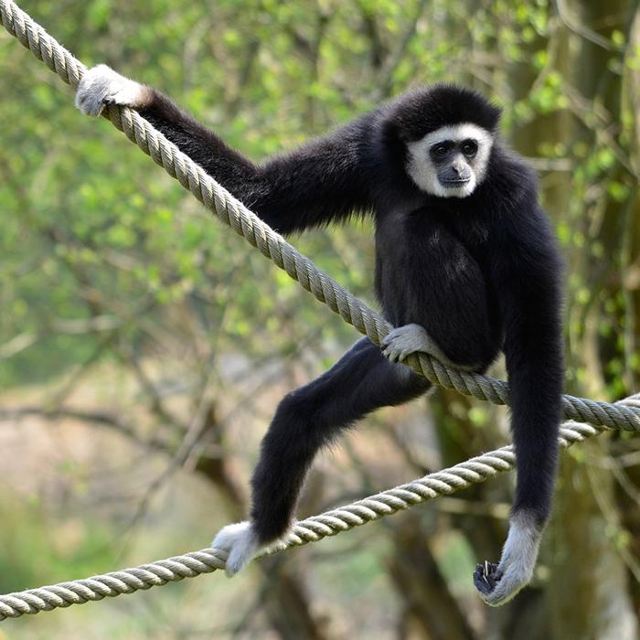 Dark Handed Agile Gibbon