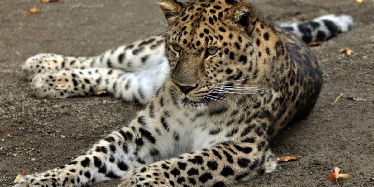 Amur Leopard Safari Niagara