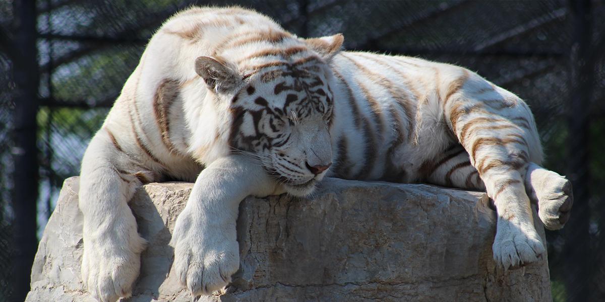 bengal tiger phylum
