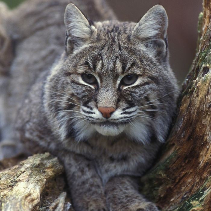 Canadian Bobcat