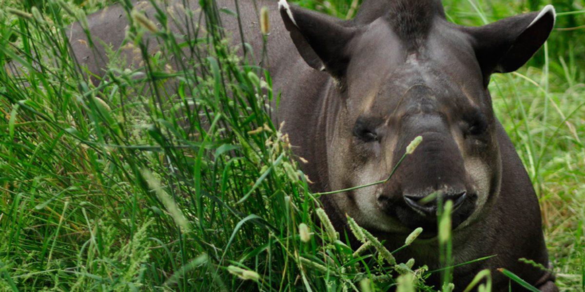 Brazilian Tapir Safari Niagara