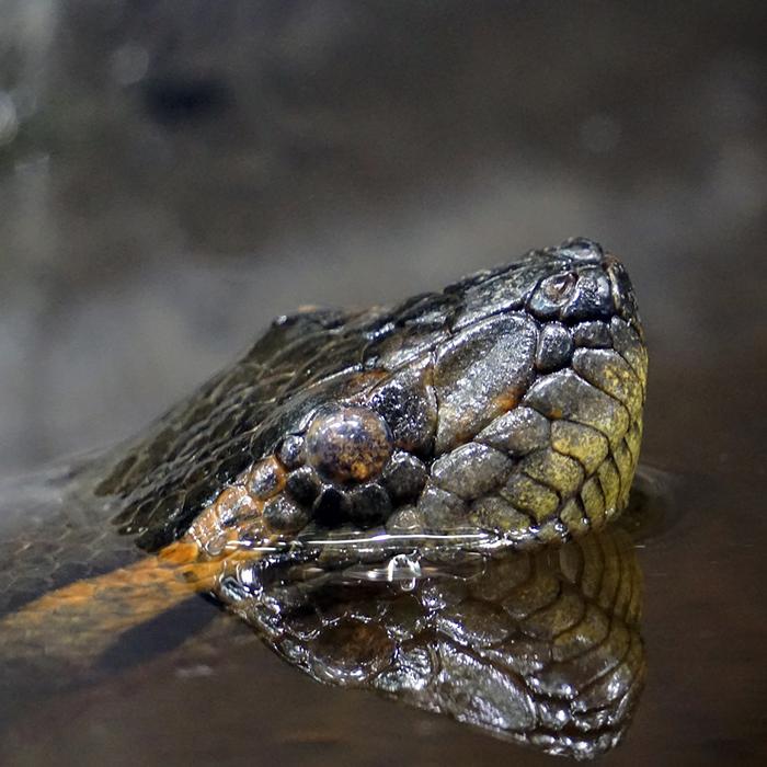Green Anaconda