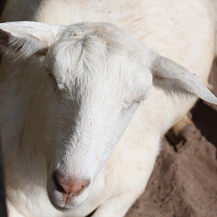 Nubian Goat Cross
