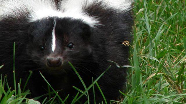 Living With Wildlife - Skunk - Safari Niagara