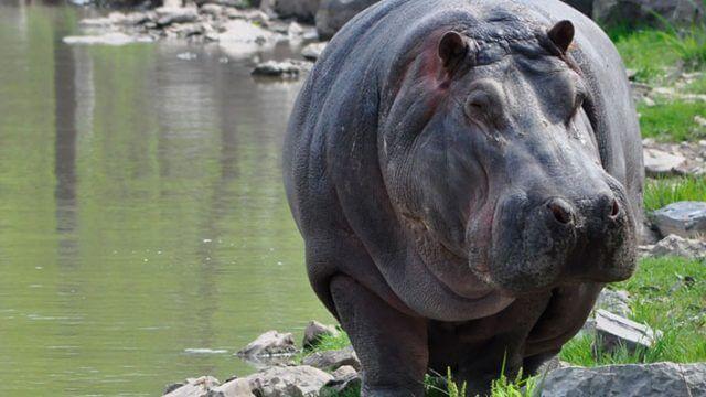 Meet the Hippos Keeper Talk at Safari Niagara