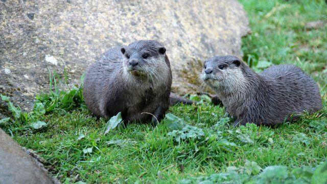 Meet the River Otters Keeper Talk at Safari Niagara